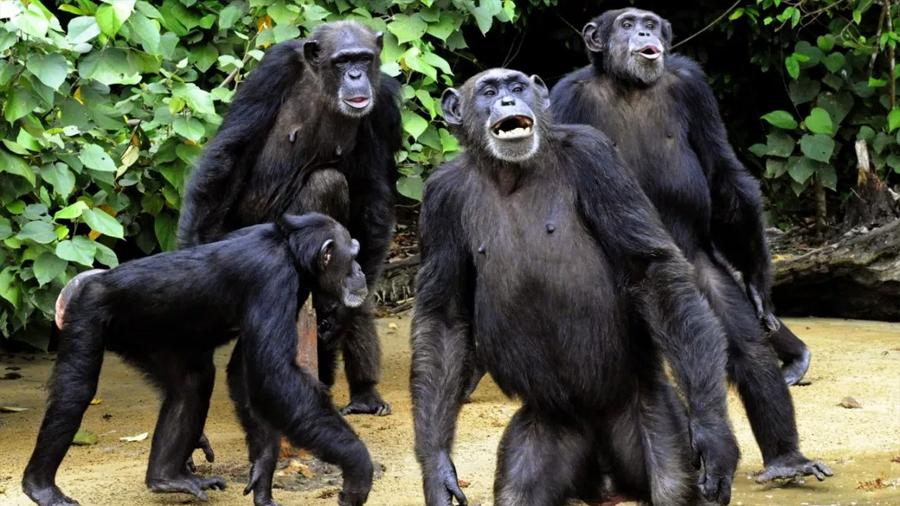 Los chimpancés son capaces de alertar a sus amigos si ven peligro en el entorno