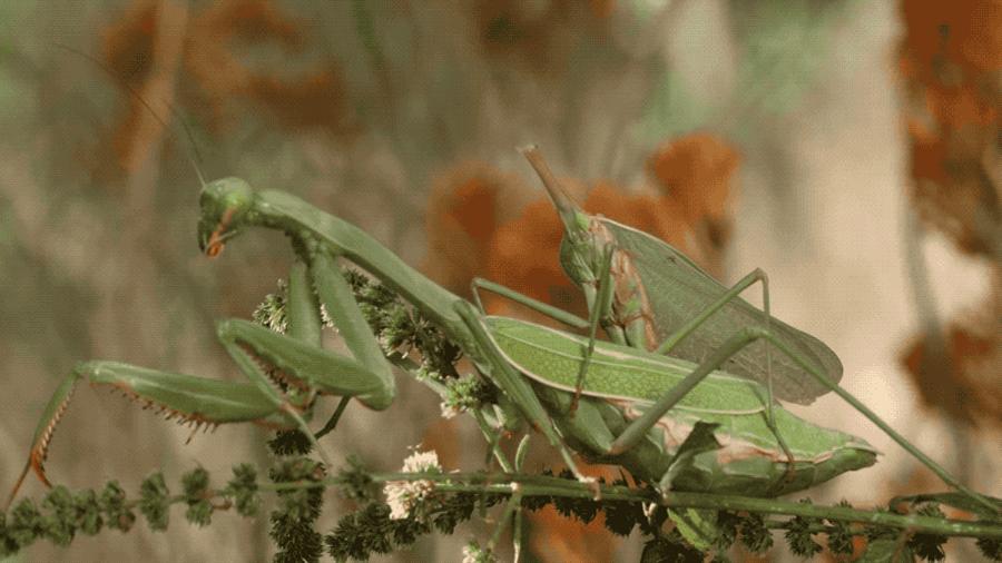 El macho de mantis religiosa es capaz de aparearse con la hembra después de que esta le haya arrancado la cabeza