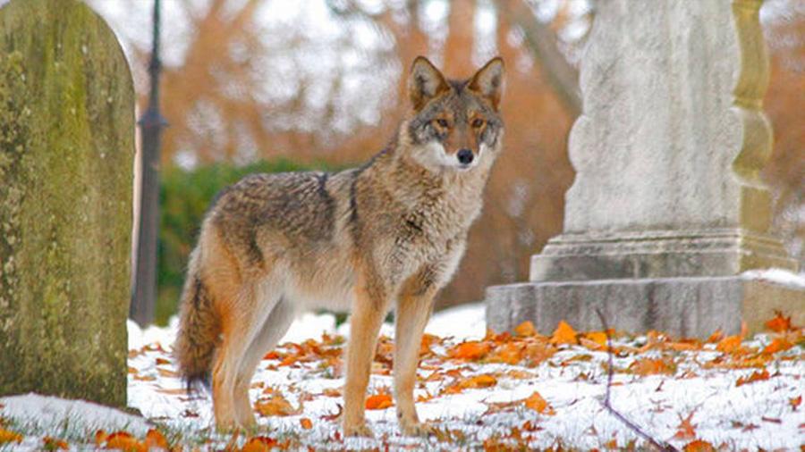 Los coyotes que tienen 25% de lobo y 11% de perro