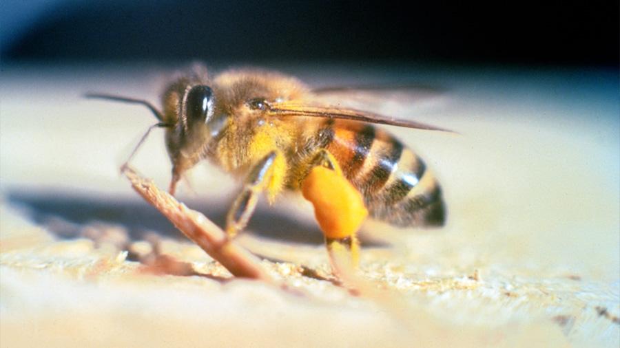 Las abejas asesinas se han vuelto más amables