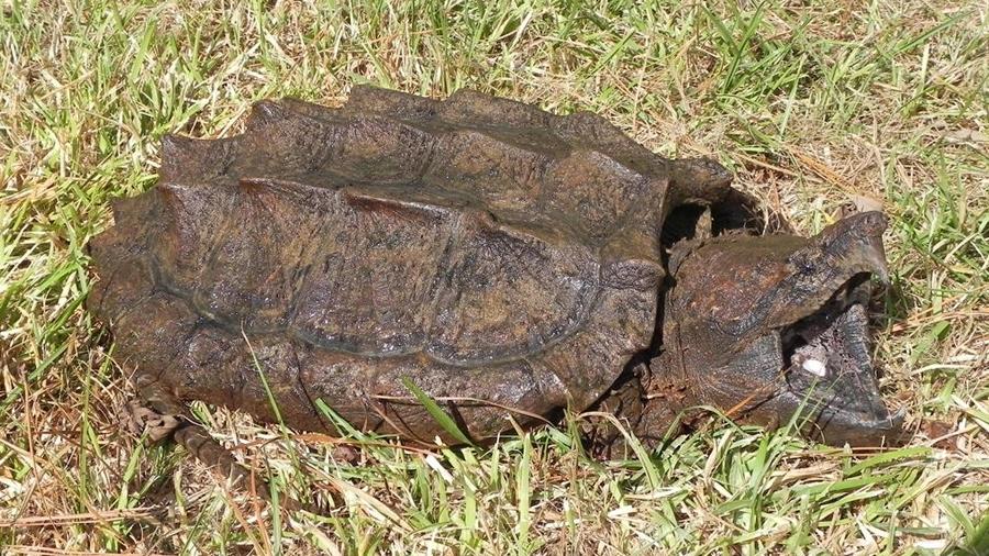 La tortuga caimán reaparece tras 30 años sin dar señales en estado salvaje