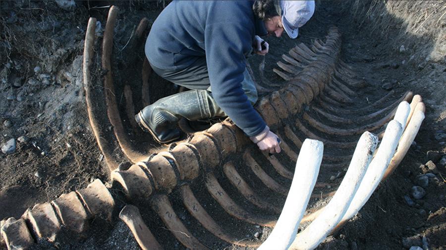 Desentierran en Siberia el esqueleto 'decapitado' de enorme vaca marina extinta
