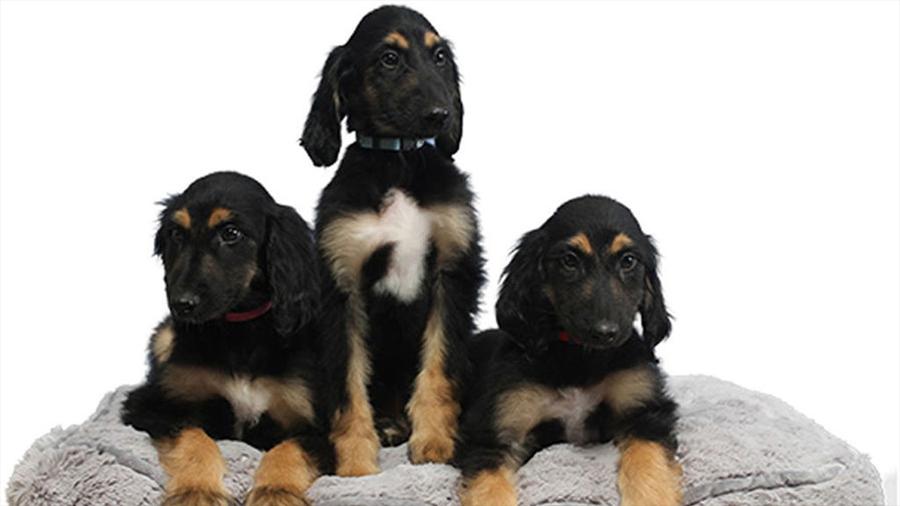 El primer perro clonado del mundo, reproducido en tres clones