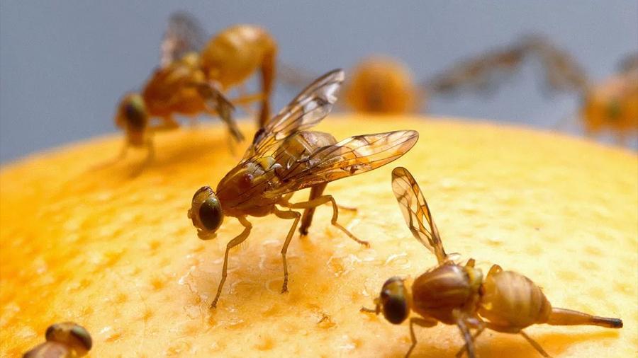 Científicos descubren que algunas moscas pueden bucear en California