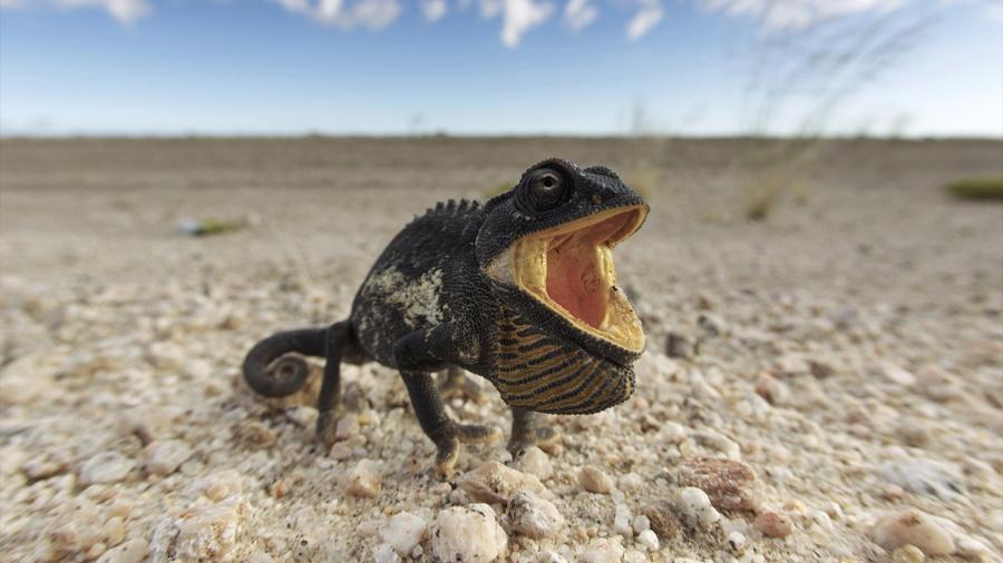 Investigación trinacional determina cómo evolucionaron las glándulas para la comunicación entre reptiles