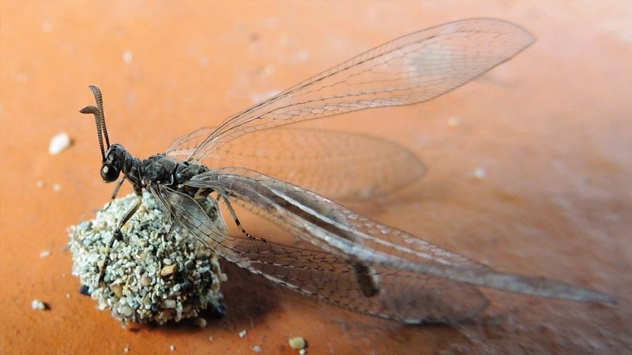 La hormiga león que come hormigas