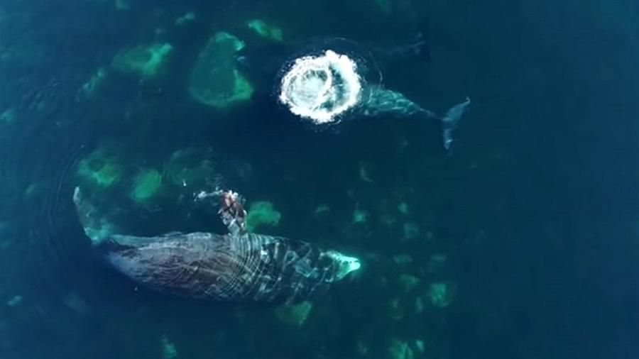 Las ballenas de Groenlandia exfolian su piel frotándose contra las rocas
