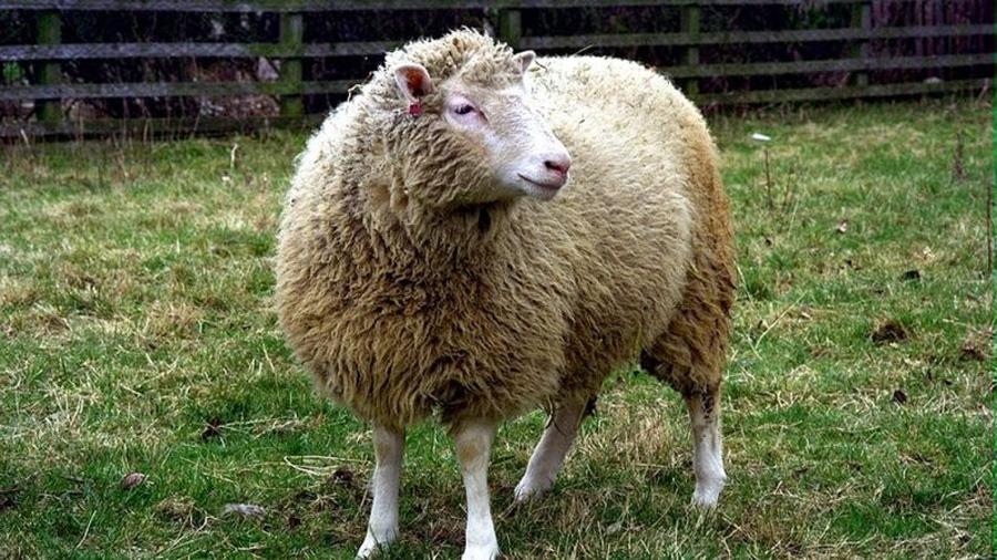 Desmentido el mayor mito de la oveja Dolly: no murió de forma prematura por ser un clon