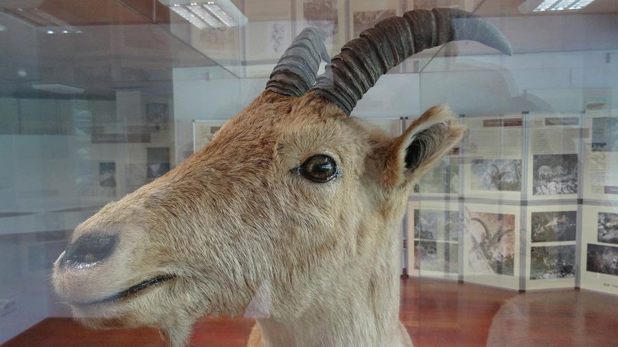 El bucardo fue el primer animal extinto que ha sido 'resucitado', científica británica