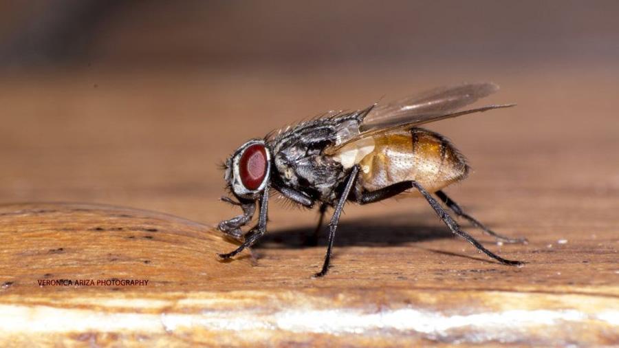Las moscas son más dañinas de lo que pensabas (y las de ciudad son las peores)