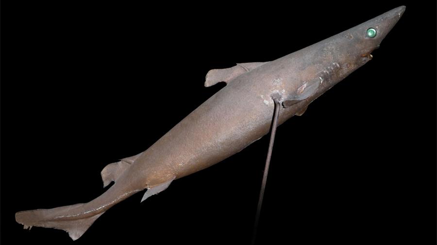 Los tiburones evolucionaron como zeppelines o aviones según su hábitat