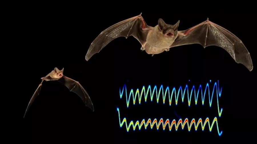 Grabaciones neuronales revelan cómo funciona el sónar del murciélago