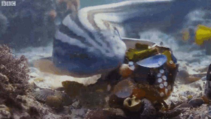 Documentan por primera vez a un pulpo usando conchas de mar como armadura para evitar ser devorado por un tiburón