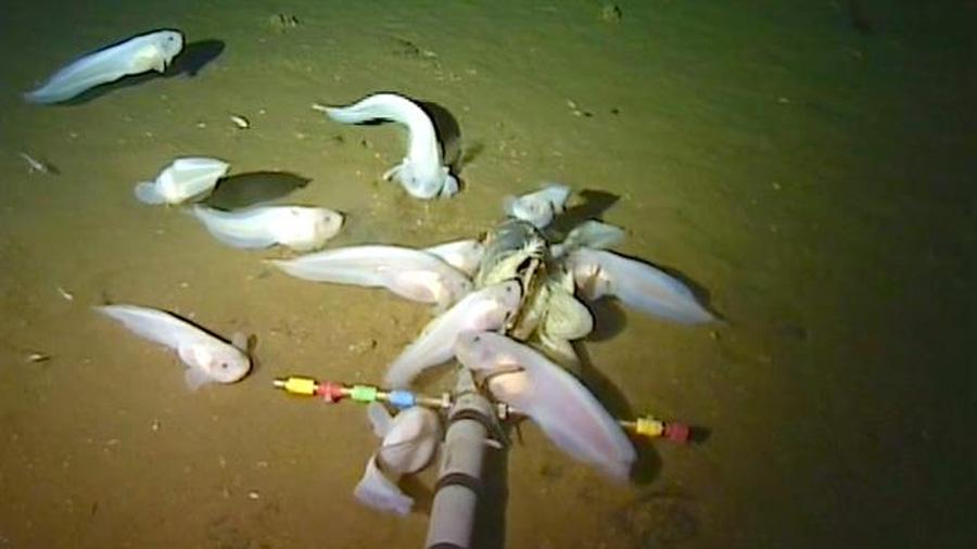 Conoce a Pseudoliparis swirei, el pez más profundo en el océano