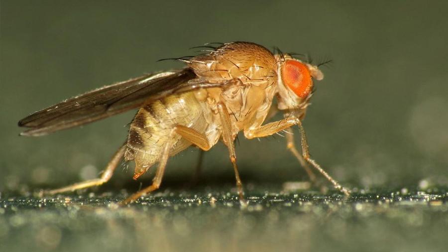 La mosca que tiene cinco premios Nobel