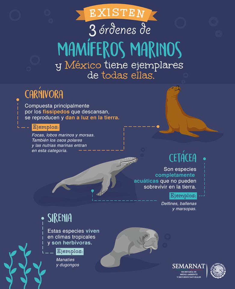 Existen 3 órdenes de mamíferos marinos y México tiene ejemplares de todas ellas