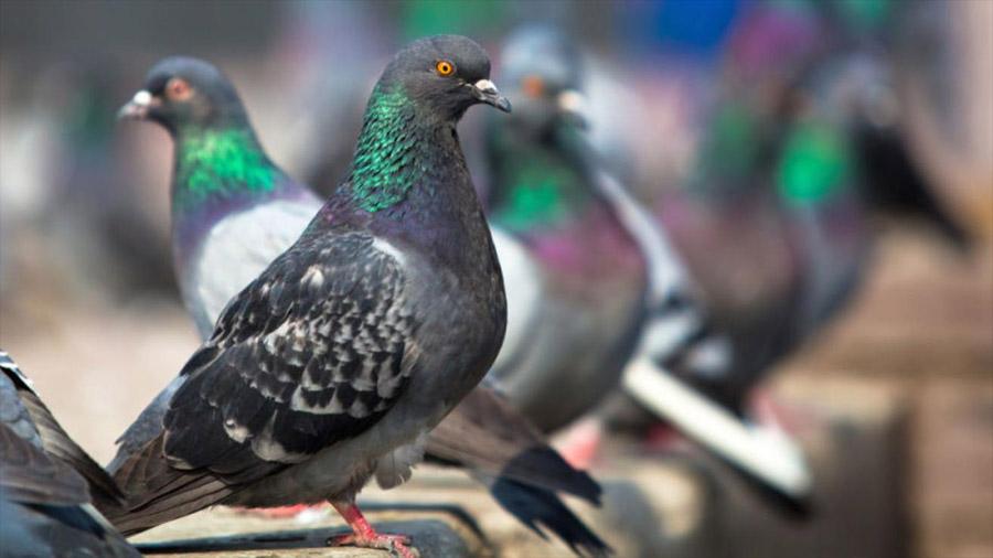 Las palomas son capaces de discernir espacio y tiempo