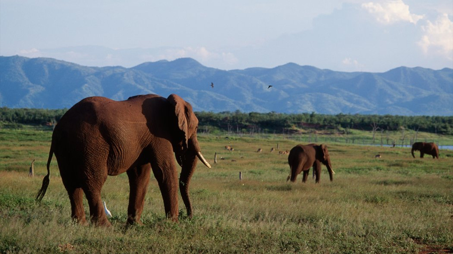 ¿Cazar elefantes para salvarlos? Algunos países creen que no hay otra opción