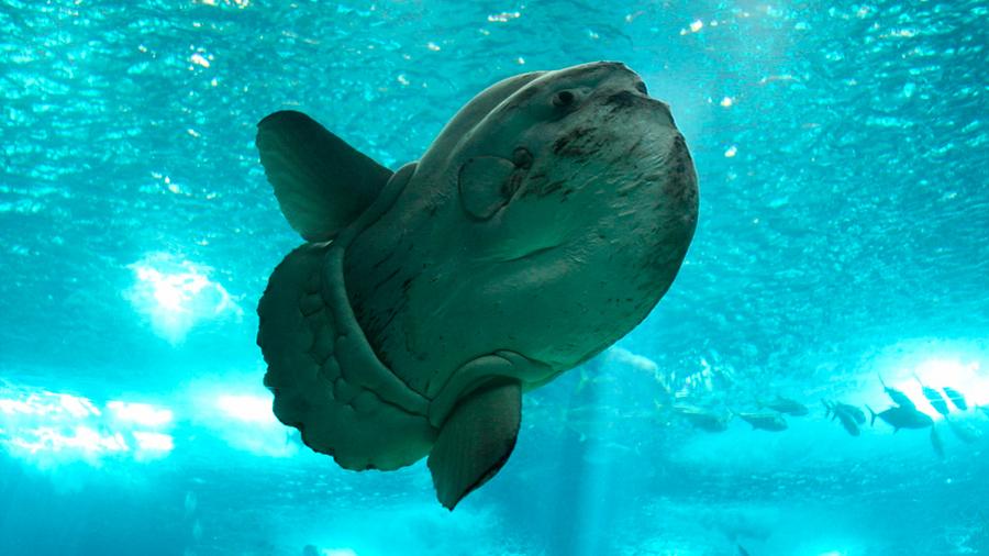 Esta bestia de 2, 300 kilogramos es el pez óseo más grande del mundo