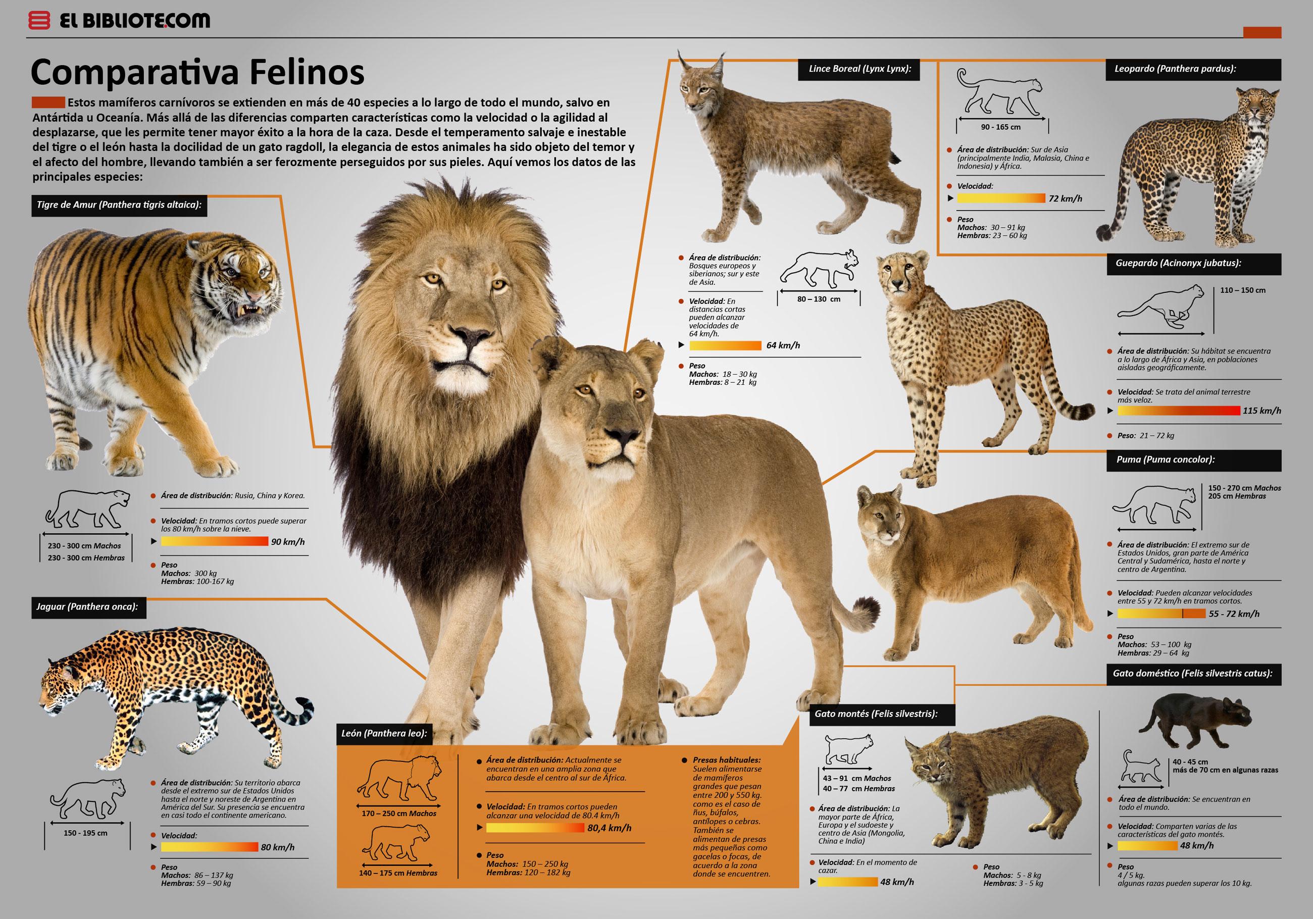 Comparativa de felinos
