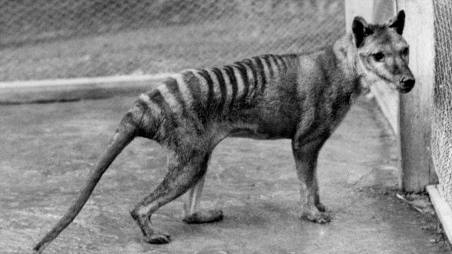 El extinto tigre de Tasmania era un canguro con piel de lobo