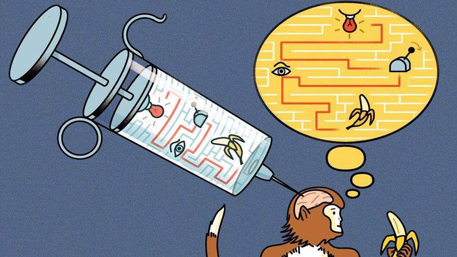 Científicos 'inyectan' información en el cerebro de unos monos