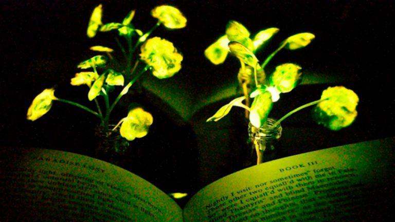 Plantas que iluminan para sustituir a las lámparas eléctricas