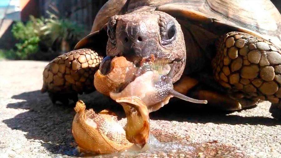Descubrieron nuevas especies de cocodrilo lagarto y tortuga come caracoles