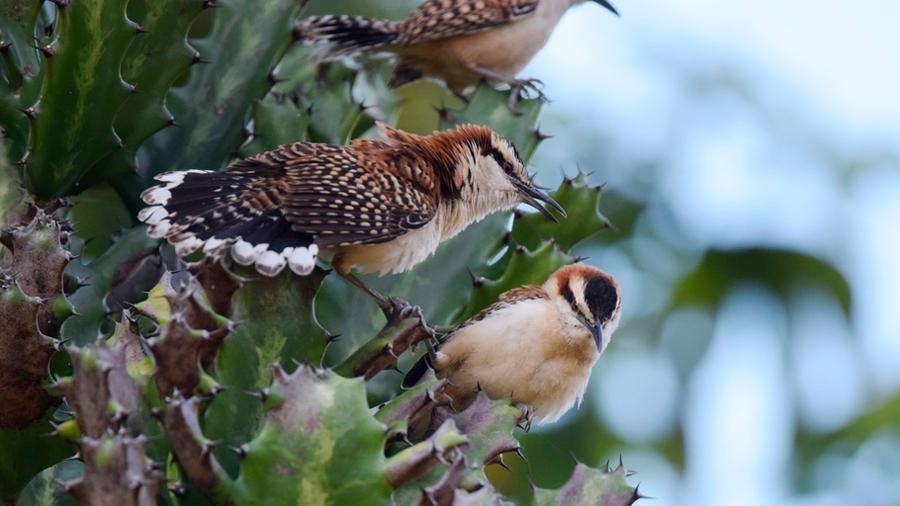 Un nuevo estudio muestra cómo las aves trabajan para cantar en coro