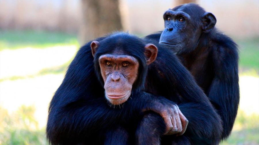 Niños y chimpancés valoran los castigos como herramienta social