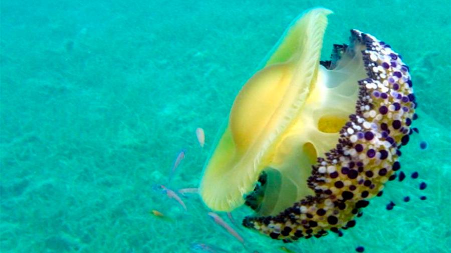 Encuentran al primer animal que duerme sin cerebro: la medusa