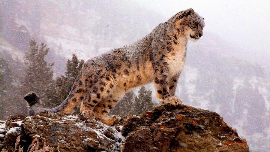Avistan en el Tíbet leopardo de las nieves