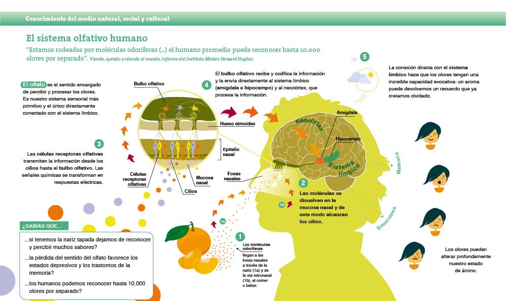 El sistema olfativo humano