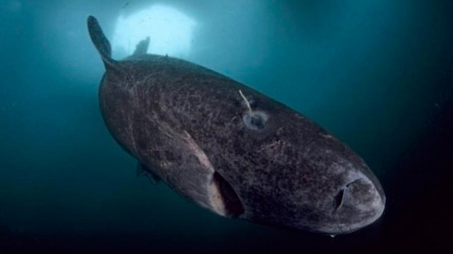 Investigadores descubren vivo un tiburón de al menos 272 años de edad: The Sun