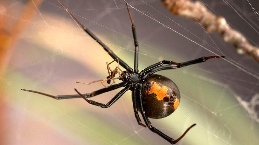 """La táctica sexual de los machos araña """"asaltacunas"""" contra el canibalismo"""