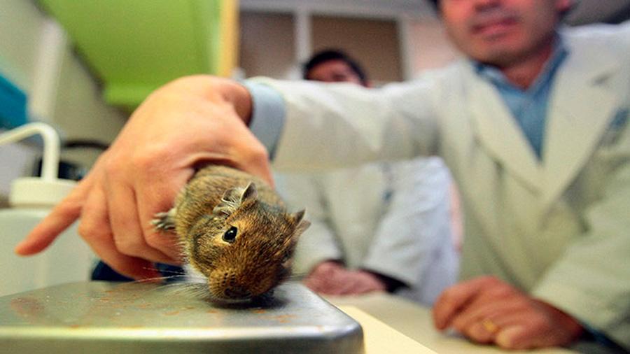 Científicos crean la primera piel con vello gracias a células de roedores