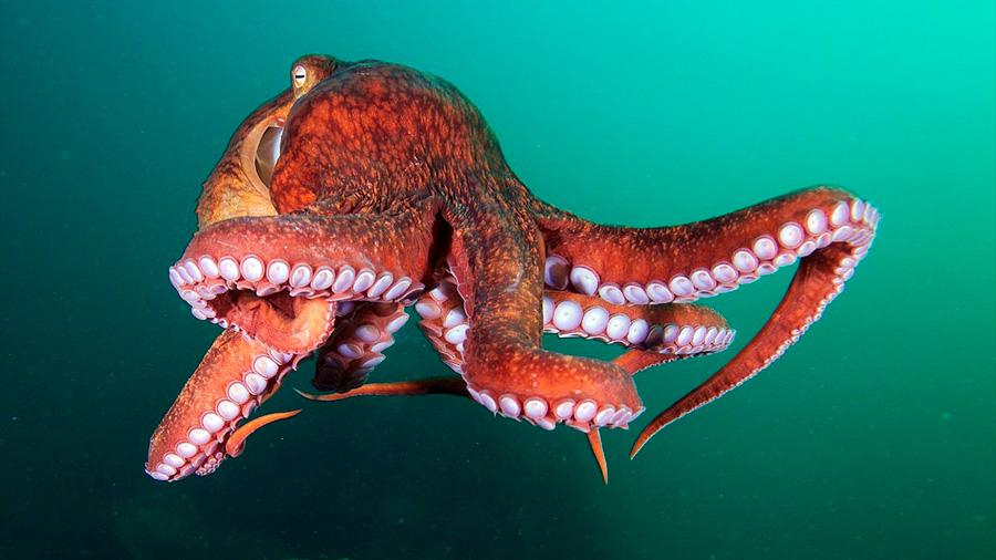 Científicos descubrieron una nueva especie de pulpo gigante escondido a simple vista