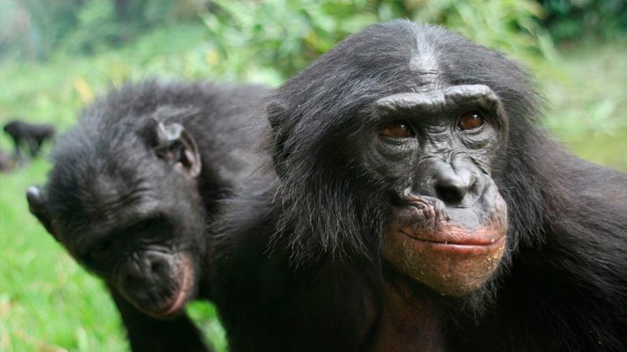 Los bonobos prefieren aliados prepotentes a cooperantes