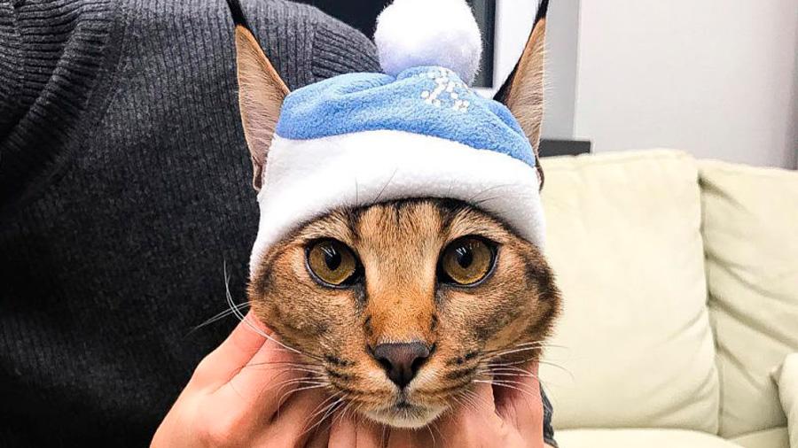 El oscuro negocio de los gatos híbridos: los mezclan con linces salvajes y los venden como mascotas exóticas
