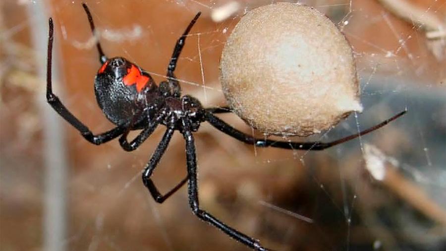 La táctica sexual de los machos araña 'asaltacunas' contra el canibalismo