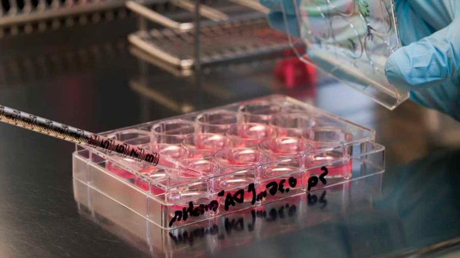 Crean el primer músculo humano funcional a partir de células madre