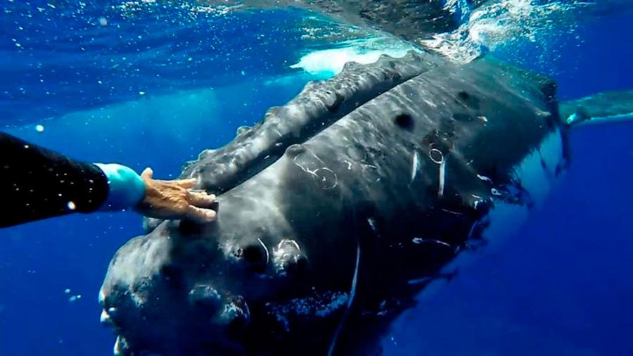 """El increíble momento en que una ballena jorobada """"protege"""" a una buceadora de un tiburón"""