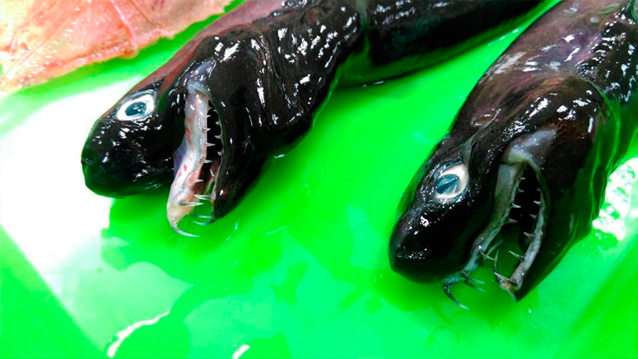 Encuentran monstruosos tiburones 'alienígenas' cerca de Taiwán