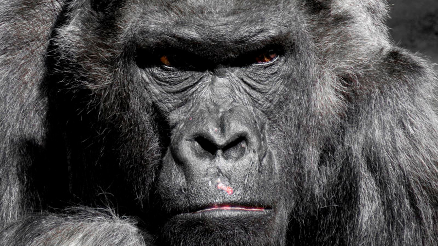 La IA de Google confunde fotos de gorilas con personas y la compañía prohibe los gorilas para que no la acusen de racismo