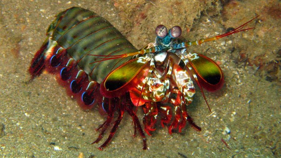 Un temible camarón inspira materiales para aviones y cascos