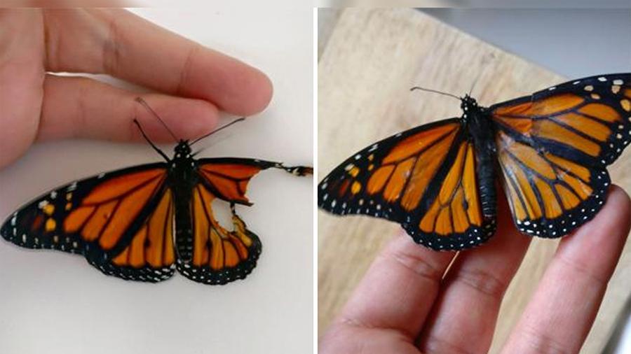 La mujer que hizo un trasplante de alas a una mariposa herida