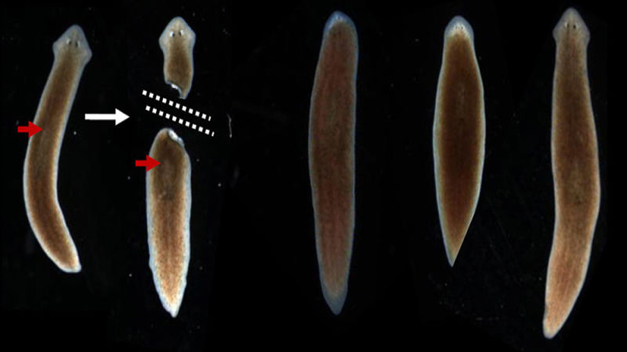 Estos gusanos conservan sus recuerdos intactos después de ser decapitados
