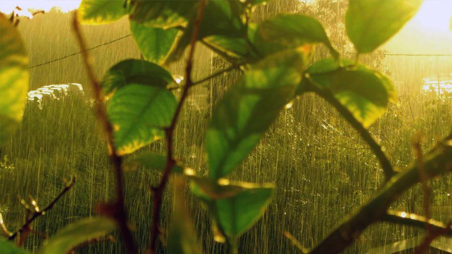 Las plantas también controlan su respuesta inmune con un termostato
