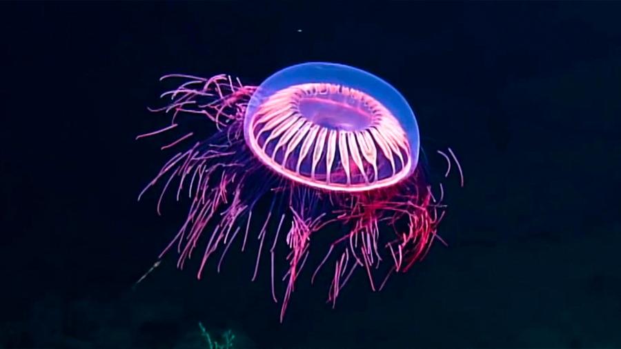 Descubrieron una extraña especie de medusa en las costas de México