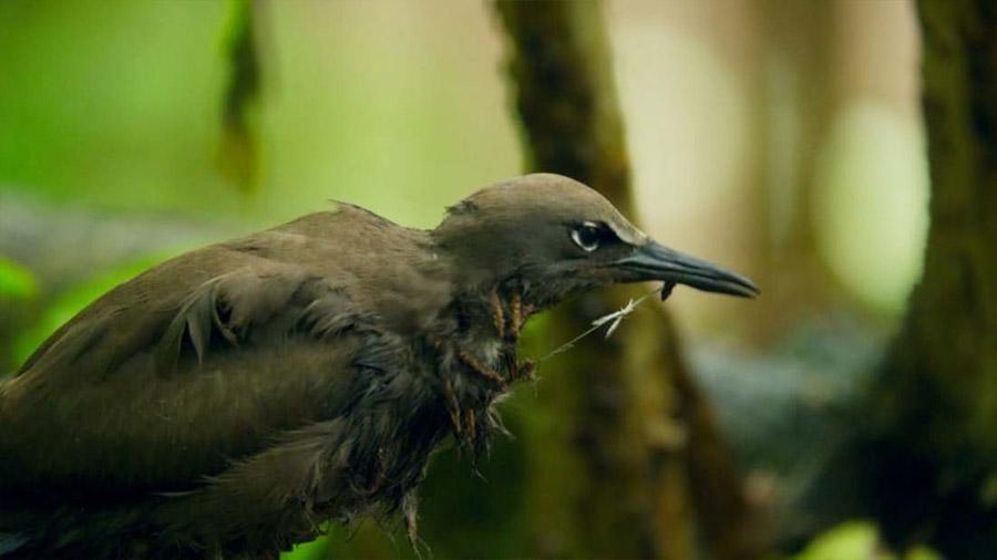 Un árbol que asesina aves en los océanos Índico y Pacífico intriga a los científicos